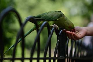 Hand feeding parakeets