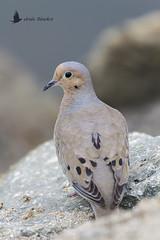 Huilota o rabiche (Zenaida macroura) (jsnchezyage) Tags: huilota tórtola rabiche mourningdove zenaidamacroura ave bird birding birdwatching ornithology beak feather