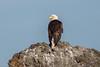 American Bald Eagle (Linda Martin Photography) Tags: usa pugetsound us haliaeetusleucocephalus sanjuanisland fridayharbour washingtonstate bird coth bald eagle alittlebeauty naturethroughthelens coth5 ngc npc