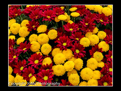 Mums the word (2) (johnm2205) Tags: bloom chrysanthemums flora flowers mums bunch chrysanthemum display floral flower full orange red yellow