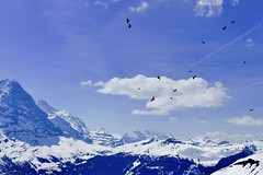 Free as a bird (evakatharina12) Tags: alpendohlen alpine though bird fly sky mountains alps berneroberland switzerland suisse schweiz first eiger mönch jungfrau grindelwald snow