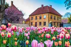 Visby Tulips-2 (j5brock) Tags: canon 5dsr zeiss otus gotland sweden visby