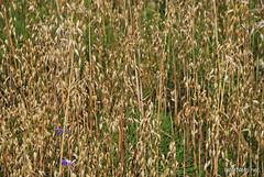 Пшениця, жито, овес InterNetri  Ukraine 042