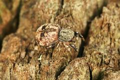 Ballus chalybeius (Walckenaer 1802) = Aranea chalybeia Walckenaer, 1802 = Ballus depressus (Walckenaer 1802) (chug14) Tags: unlimitedphotos araignée araignéesauteuse spider animalia arachnida araneae salticidae ballusdepressus araneachalybeia balluschalybeius