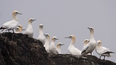 Fous de Bassan (Patrick Doreau) Tags: fou bassan 7îles bretagne oiseau bird rocher ornithologie perrosguirec rouzic île gannet brittany ornithology animal nature eau ciel explore