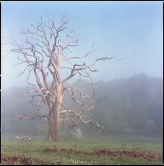 Yeah ok bye (steve-jack) Tags: hasselblad 501cm 80mm cb fuji reala 100 film 6x6 120 tree mist fog tetenal c41 kit epson v500