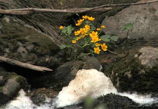 The yellow marsh marigolds.