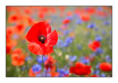 Photo de saison (Rémi Marchand) Tags: nature fleur flower coquelicot bleuet poppies poppy cornflower bleuetsetcoquelicots champ couleur rouge printemps spring canon5dmarkiii rougeetbleu