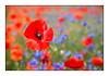 Photo de saison (Rémi Marchand) Tags: nature fleur flower coquelicot bleuet poppies poppy cornflower bleuetsetcoquelicots champ couleur rouge printemps spring canon5dmarkiii rougeetbleu