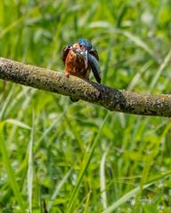 Brandon_20180520_26116 (Rural Dave) Tags: birds brandonmarsh nature wildlife