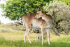 Someone is bugging me (Leo Kramp) Tags: 2018 zoogdieren dieren loweproflipside300awii flickr natuurfotografie accessoires damhert deer waterleidingduinen