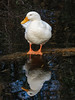 Feeling Smug (Steve Taylor (Photography)) Tags: bird duck brown blue white orange cool newzealand nz southisland canterbury christchurch ripple reflection