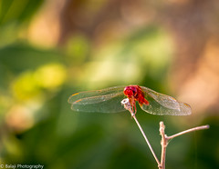 Ruddy Marsh Skimmer (Male) (Balaji Photography - 5 ,400,000+ views -) Tags: dragonfly fly insect ruddymarshskimmermale wings species crocothemisservilia adyarriverbank insectsinchennai canon