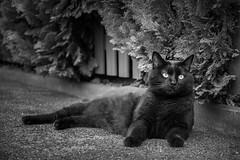 Lillie in B&W  [Explored] (pwendeler) Tags: blackcat schwarzekatze cat katze chat gato gatonegro gatonero chatnoir sony sonyalphaa6500 pet haustier bw schwarzweis