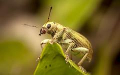 Weevil (snomanda) Tags: phyllobius weevil beetle insect animal nature invertebrate wildlife garden pest bug critter uk entomology ecology natural