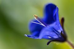 """Desert Bluebell"" (helmet13) Tags: d800e raw flora flower phaceliacampanularia nature petal nettle macro selectivefocus bokeh aoi peaceaward"