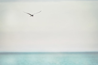 The Tern