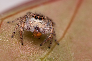 Salticidae / Jumping spider