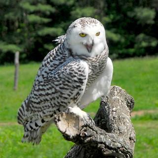 Snowy Owl, Nyctea scandiaca, female (13)