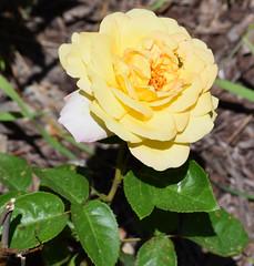 Peace Rose (RockN) Tags: peace roses caterpillar june2018 maryannstaogarden worcester massachusetts newengland