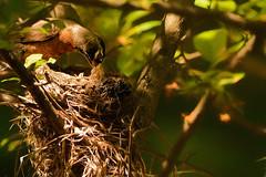 Beak-a-Boo (Goromo) Tags: americanrobin robin bird nest nestlings birds spring feeding newborns