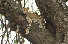 Leopard in tree (Rob Keulemans) Tags: leopard 2018 krugernationalpark wild