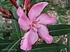 Baladre 019 (adioslunitaadios) Tags: baladre plantasyflores airelibre campo jardín pétalos fujifiml macro