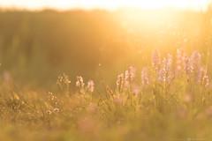 (CarolienCadoni..) Tags: sony sonyilcaa99m2 sal70200g2 sun sundown sunlight sunrays sunset eveninglight evening wildorchid orchis drenthe dreamy whereilive beautifulearth beautifullight