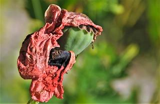 Sad poppy