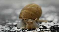 """ SNAIL"". §@ⓕⓕ Ph[🔘]to  #photography #nature #street #urban #expressión #imagination #face #eyes #vilagarciadearousa #pontevedra #galicia #sunset #landscape #paisajes #colors #macro #snail #ngc (saffsunset) Tags: landscape paisajes face galicia eyes photography snail urban vilagarciadearousa expressión macro street colors nature ngc pontevedra imagination sunset"