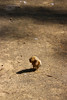 Parque de Maria Luisa - Baby Duck (misseka) Tags: spain andalusia seville sevilla park parquedemarialuisa duck babyduck