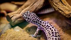 DSC01770.jpg (Thominator4711) Tags: photoadventure gecko tier landschaftsparkduisburg