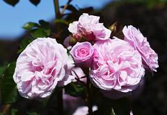 DSC_0172 (PeaTJay) Tags: nikond750 sigma reading lowerearley berkshire macro micro closeups gardens outdoors nature flora fauna plants flowers rose roses rosebuds