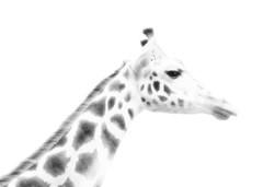 giraffe profile (Hal Halli....happy everything!!) Tags: animal giraffe blackandwhite profile innocence bw face