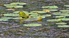 Lily pads (Steve InMichigan) Tags: lilypads lilies water creek vivitar300mmf56tokinalens fotodioxnikeoslensadapter