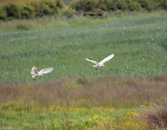 Barn Owls And Buttercups (Steve (Hooky) Waddingham) Tags: bird british barn wild wildlife countryside coast nature prey photography flight hunting