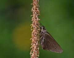 Skipper In The Sun (ACEZandEIGHTZ) Tags: nature bokeh skipper moth flower stalk dead closeup sunny bright monk asbolis capucinus coth alittlebeauty coth5 sunrays5