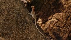 A Lizard In The Fawn (richard_fernando) Tags: mahulifort india mumbai pose nature tree brown jurrasic creature beautiful chameleon lizard