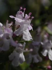 Timian blomster (mikkelfrimerrasmussen) Tags: macro makro flower flowering blossom spring may desktop background bokeh canon thyme timian