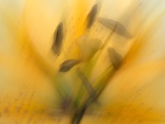 Abstractions in my garden (pcamma) Tags: fantasia iphoneography iphone primavera giardino garden spring color giallo lilith lilium giglio fiore flower astrazione abstractions