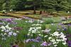 Iris Garden (seiji2012) Tags: 東京 皇居 東御苑 花菖蒲 tokyo imperialpalace flower