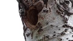 WoodPeckers Feeding (Anna Gurule) Tags: woodpecker feeding nesting nmbirds red head artedgy annagurule annaortizgurule
