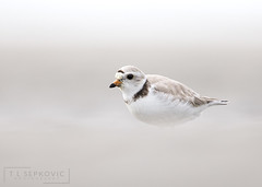 Piping Plover (T L Sepkovic) Tags: pipingplover plover shorebird endangered nearthreatened audubon shore beach softtones conserve