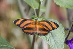 Butterfly 2018-39 (michaelramsdell1967) Tags: butterfly butterflies animal animals insects insect macro natire beauty beautiful orange banded wing wings pretty lovely closeup upclose black stripe vivid vibrant colorful spring leaf garden bug bugs fragile zen