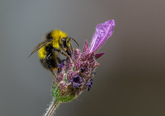 Lavandula Bee(2) (neil 36) Tags: lavender lavandula bee closeup summer sunshine