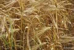 Пшениця, жито, овес InterNetri  Ukraine 023