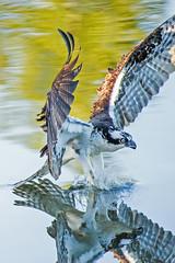 Single minded (Tom Fenske Photography) Tags: bird nature osprey wildlife raptor reflection mirror lake water wet