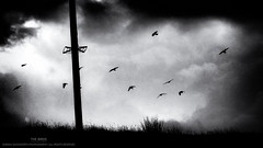 The Birds (...She) Tags: thebirds birds flockofbirds scenery mood moody atmosphere blackandwhite monochrome darknessandlight nature