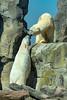 Eisbären im Zoo am Meer in Bremerhaven (bh-fotografie) Tags: eisbären bear bremerhaven zoo tierpark am meer 70300 usd tamron sony alpha 7 a7 ii animal