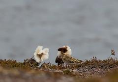 05 06 2018 (cathyk31) Tags: oiseau combattantvarié charadriiformes philomachuspugnax ruff scolopacidés bird